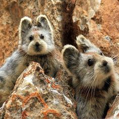 Ili Pika discovered in rocky mountains of China in 1983. ~8 inches long. Endangered.