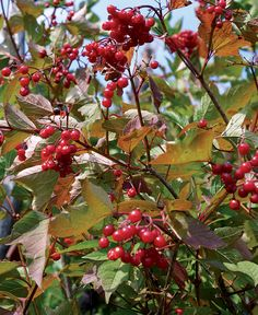 8 Trees and Shrubs with Showy Fall Fruit - Fine Gardening Article