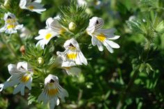 Augentrost Blüte