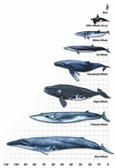 .different kinds of whales