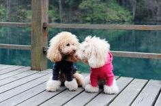 Two very #cute toy poodles