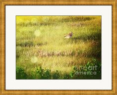 Marshpiper Framed Print By Shelly Weingart