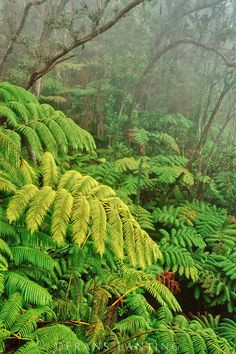 Tree ferns in forest, Hawaii Volcanoes National Park, Hawaii