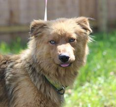 Meet Copper, a Petfinder adoptable Chow Chow Dog | Naperville, IL | This is an awesome pup! He is 1-2 yrs old and weighs about 45 pounds. Copper is from the streets of...