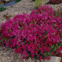 Organic Vegetable Gardening Add a dash of bold magenta red to the edge of a border or along a rock wall with this stunning Creeping Phlox. - Add a dash of bold magenta red to the edge of a border or along a rock wall with this stunning Creeping Phlox. Landscaping With Rocks, Front Yard Landscaping, Backyard Landscaping, Landscaping Ideas, Modern Landscaping, Inexpensive Landscaping, Landscaping Edging, Farmhouse Landscaping, Landscaping Software