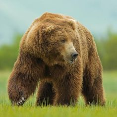 BIG Bear Photo by Henrik Nilsson — National Geographic Your Shot