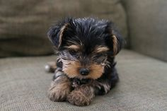 one day, animals, little puppies, yorkie, small dogs, pet, ador, baby puppies, yorkshire terriers
