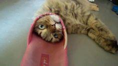 """Dopo una dura """"lotta"""" la ciabatta riesce a battere il gatto di casa - La Stampa"""