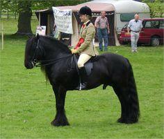 fell pony stallion | Native Ponies Online - Fell Pony Society Stallion And Colt Show - 10 ...
