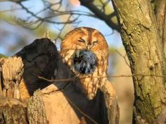 Chouette hulotte - YouTube Owl, Youtube, Nature, Tawny Owl, Animaux, Law School, Naturaleza, Owls, Youtubers
