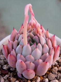 Echeveria cv.