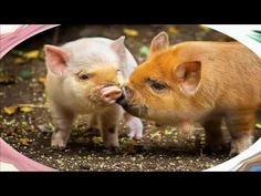 Chuyện cho Bé câu chuyện về con Lợn sợ béo