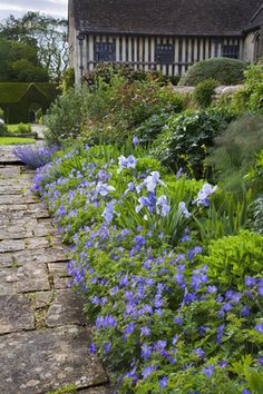 A blue border with hardy geraniums and irises at the fifteenth-century Great Chalfield Manor, Wiltshire, UK