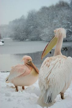 Pelicans in the snow