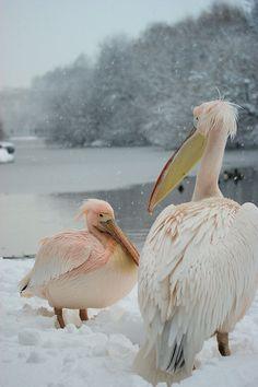 Snow pink pelicans