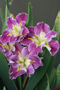 Iris x louisiana 'Love me Do' can find Louisiana and more on our website.Iris x louisiana 'Love me Do' Cottage Garden Plants, Garden Soil, Gardening, Colorful Flowers, White Flowers, Savannah Gardens, Louisiana Iris, Spring Perennials, Rabbit Resistant Plants