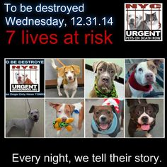 TO BE DESTROYED: 7 Dogs to be euthanized by NYC ACC- WED. 12/31/14. This is a HIGH KILL shelter group. YOU may be the only hope for these pups! ****PLEASE SHARE EVERYWHERE!!!To rescue a Death Row Dog, Please read this: http://urgentpetsondeathrow.org/must-read/ To view the full album, please click here: https://www.facebook.com/media/set/?set=a.611290788883804.1073741851.152876678058553&type=3