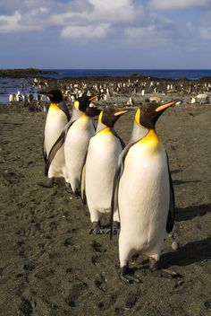 King Penguins, Macquarie Island, Subantarctic Islands of Australia
