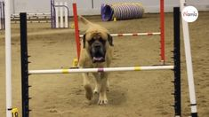 A Mastiff has won hearts with his sheer determination to complete an agility course despite his huge size. The video of his efforts has earned him millions of fans. Mastiff Breeds, Mastiff Dogs, Huge Dogs, Tibetan Mastiff, English Mastiff, Losing A Dog, Gentle Giant, Happy Dogs, Determination
