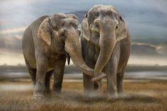 "llbwwb: "" Elephant Love by peasant "" Elefant Wallpaper, Beautiful Creatures, Animals Beautiful, Majestic Animals, Elephas Maximus, Funny Animals, Cute Animals, Wild Animals, Baby Elefant"