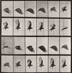 Animal Locomotion: Plate 765 (Crow in Flight), 1887