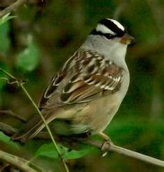 White-Crowned Sparrow (Zonotrichia leucophrys) 04/08/2012 Calhoun Co., MS  (not actual photo)