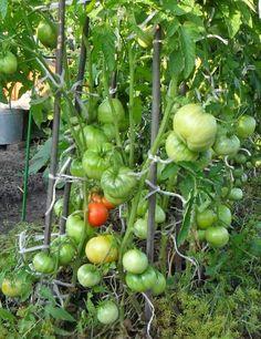 Советы кизимы по выращиванию томатов 338