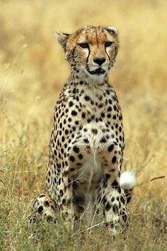 Lions, Tigers, Leopards, Cheetahs and Other Cats: The Cheetah - A Unique Cat Cheetah Pictures, Unique Cats, Hyena, Wild Nature, Leopards, My Animal, Big Cats, Mammals, Lions