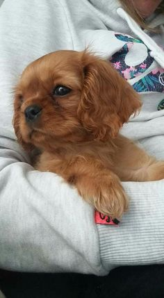 Super Cute Puppies, Cute Baby Dogs, Cute Little Puppies, Cute Dogs And Puppies, Cute Little Animals, Cute Funny Animals, Doggies, Cavalier King Charles Dog, King Charles Spaniel