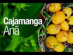 Cajamanga Anã, deliciosa fruta para vaso!