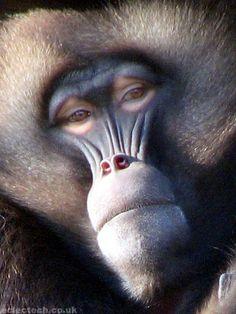 not bad baboon