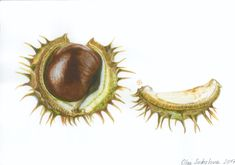 Watercolor chestnut, botanical art. Botanical Art, Watercolors, Still Life, Anatomy, My Arts, Portraits, Etsy, Watercolor, Water Colors