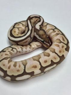 Pastel Mojave Bongo Het Ghost Ball Python - Female #2017F01