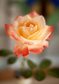 Amazing Flowers, Beautiful Roses, Beautiful Images, Rose Rise, Cactus, No Rain, Rose Cottage, Orange And Purple, White Roses