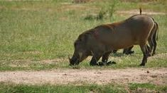 Image result for warthogs VIDEO