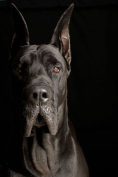 Pono - Great Dane  Photo by Ted Prescott - On The Spot Studios