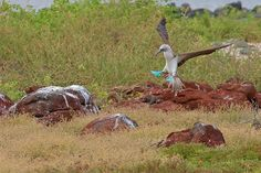 Galapagos Islands - Blue Footed Booby landing.  Photo by Karen, Alan Fox/Bill, Judy Tink