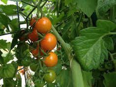 Stop Watering Those Tomatoes!