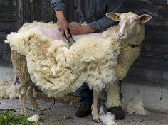Schafschur, Schafe selber scheren, Schafschermaschine