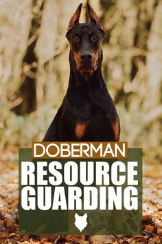 Resource Guarding happens when a dogs behaviour is off, such as growling or biting. This can happen in any breed but today we will discuss what happens and what to do with your Doberman. German Dog Breeds, Large Dog Breeds, Large Dogs, Best Guard Dog Breeds, Best Guard Dogs, Guard Dog Training, Dog Training Tips, Best Dogs For Families, Family Dogs