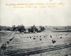 Fruit trees planted by Ruben Ahlstrom on ranch north of Devonshire at the end of Canoga Avenue, Chatsworth, circa 1890s. Los Angeles Valley College Historical Museum. San Fernando Valley History Digital Library.
