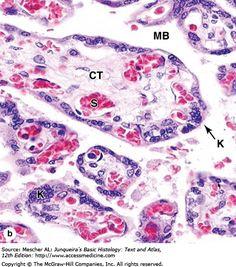 Stratified Squamous Epithelium, Ovarian Follicle, Histology Slides, Embryonic Development, Medical Mnemonics, Mammary Gland, Female Reproductive System, Med Student, Nursing