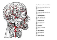 Facial arteries by timwidden.co.uk