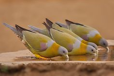 BEATING THE HEAT Yellow-footed green pigeon