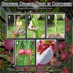 How to Grow Dragon Fruit in a Container. Learn this simple process at Happy House Garden today, impress your friends and family. Potted Fruit Trees, Fruit Plants, Fruit Garden, Edible Garden, Trees To Plant, Tomato Plants, How To Grow Dragon Fruit, Dragon Fruit Cactus, Permaculture