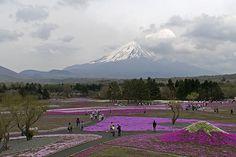 Shibazakura y el Fuji