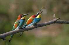 Twitchers (unseen) flock to get glimpse of rare European Bee Eaters at National Trust Wydcombe, Isle Wight
