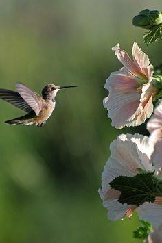 Hummingbird and Hollyhock Pretty Birds, Love Birds, Beautiful Birds, Animals Beautiful, Cute Animals, Flowers That Attract Hummingbirds, Hummingbird Garden, Hummingbird Drawing, Hummingbird Plants