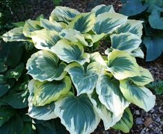 Giant Hosta Cultivar  Liberty Hosta is a sport of Sagae that features a much wider yellow margin. This hosta plant will brighten up any garden. This hosta