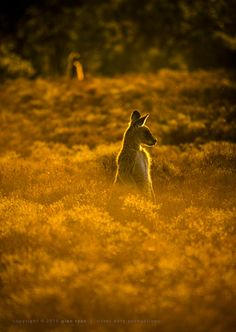 Two roos … golden hour on Scrivener Hill